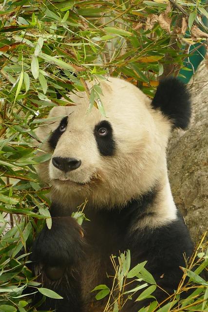 Panda, Animals, Bear, Mammal, Zoo, Fur, Cute, Nature