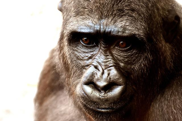 Gorilla, Monkey, Animal, Zoo, Furry, Omnivore, Portrait