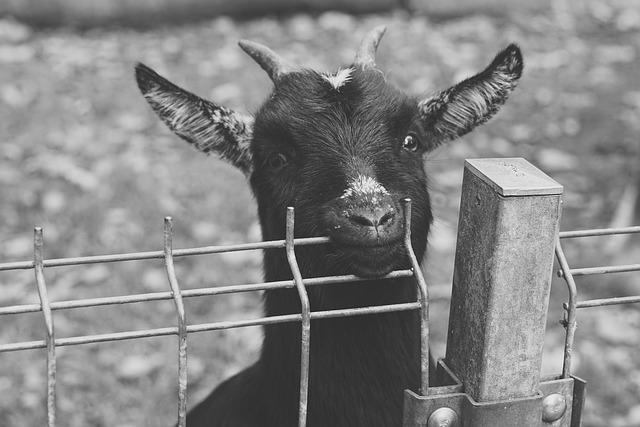 Goat, Black, Green, Leaves, Zoo, Animal, Wildlife Park