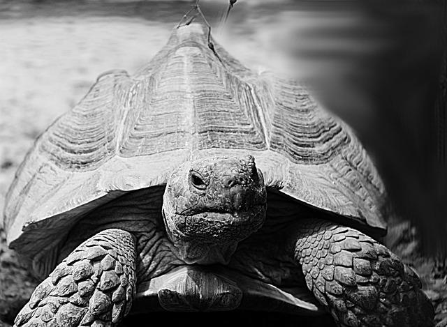 Turtle, Animal, Grey, Black And White, Zoo