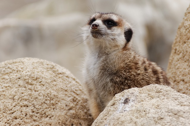 Meerkat, Animal, Zoo, Guard, Wildlife Photography
