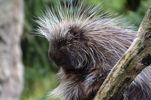 Porcupines, Erethizontidae, Animal, Zoo, Hannah