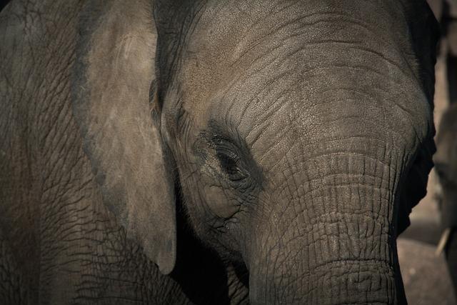 Elephant, Zoo, Pachyderm, Head