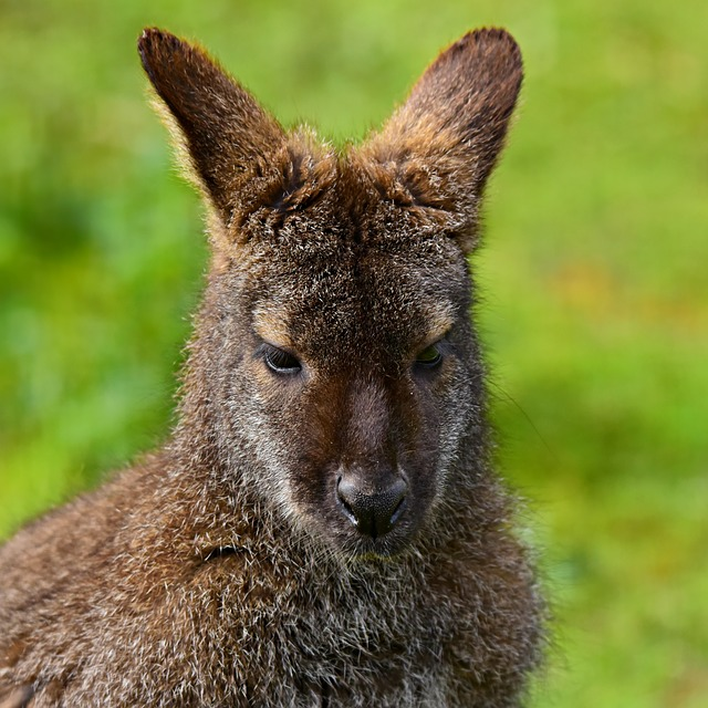 Wallaby, Animal, Marsupial, Mammal, Fur, Head, Ear, Zoo