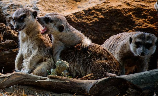 Meerkat, Zoo, Lazy, Nature, Animal, Sand, Snappy