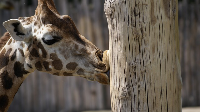 Zoo, Giraffe, Leipzig