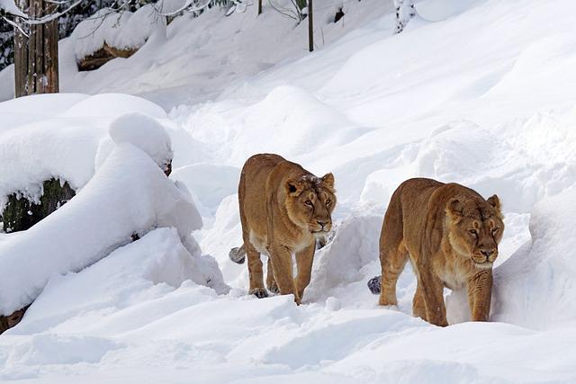 Predator, Lion Females, Zoo