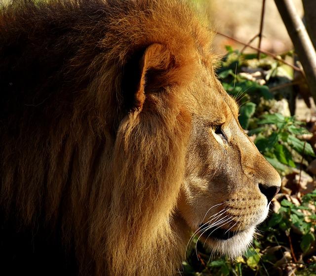 Lion, Predator, Dangerous, Mane, Big Cat, Male, Zoo