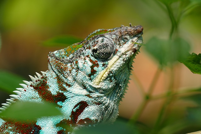 Chameleon, Reptile, Lizard, Zoo, Color
