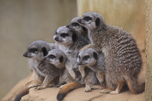 Meerkats, Zoo, Mammal, Animal, Conservation, Snout