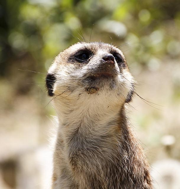 Animals, Meerkat, Zoo