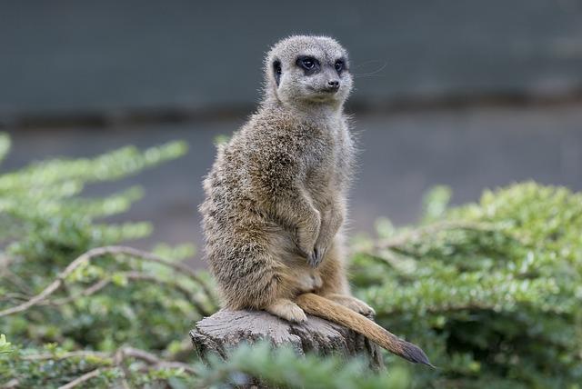 Meerkat, Zoo, Happy, Still