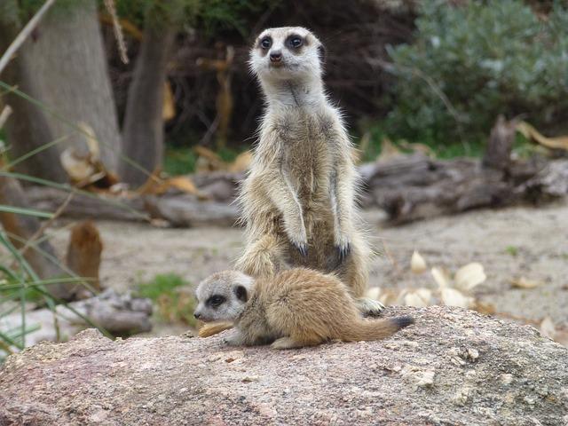 Meerkats, Meerkat Baby, Zoo, Cute, Africa, Wildlife