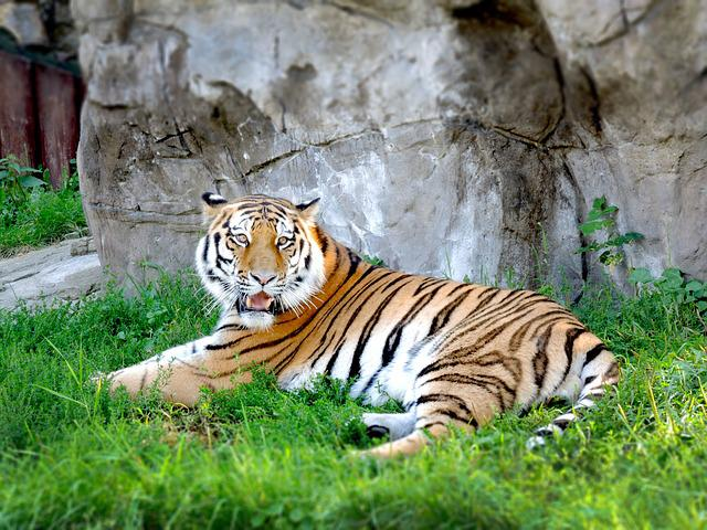 Tiger, Zoo, Moscow, Animal