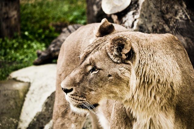 Lion, Wildcat, Predator, Zoo, Nature, Feline, Animal