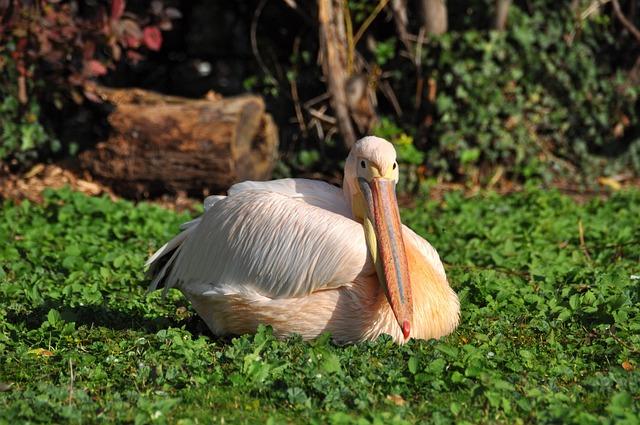 White Pelican, Pelikan, Pelecanus Onocrotalus, Zoo