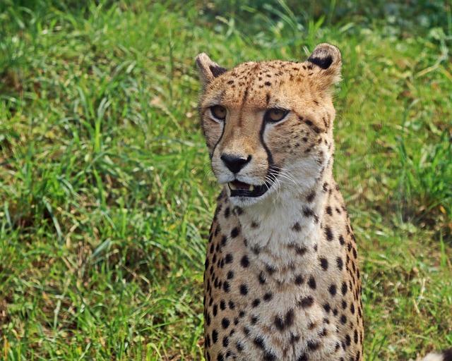 Leopard, Predator, Big Cat, Cat, Wildcat, Stains, Zoo