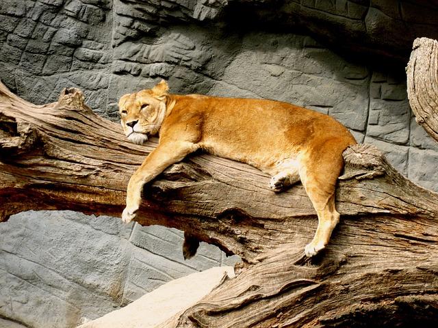 Lioness, Animal, Predator, Cat, Zoo, Wildcat, Nature