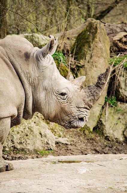 Rhino, Zoo, Rhinoceros