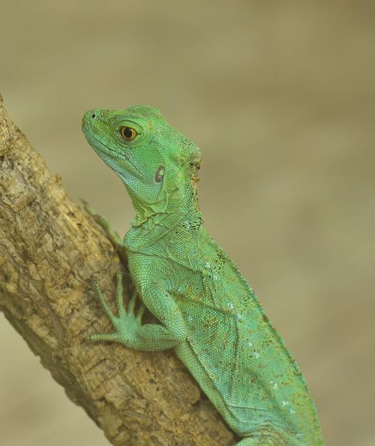 Lizard, Green, Reptile, Scale, Nature, Close, Zoo