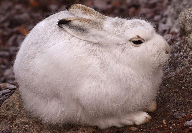 Schneehase, Cute, Zoo, Animal, Animal World, Fur, Hare