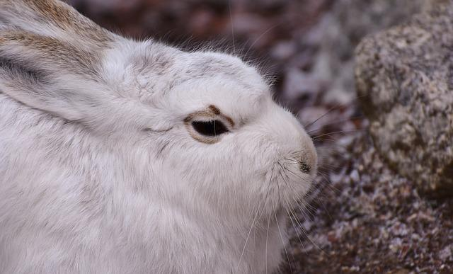 Schneehase, Cute, Zoo, Animal, Animal World, Fur, Hare