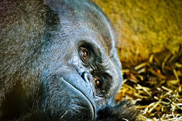 Gorilla, Zoo, Frankfurt, Silverback, Ape, Animal World