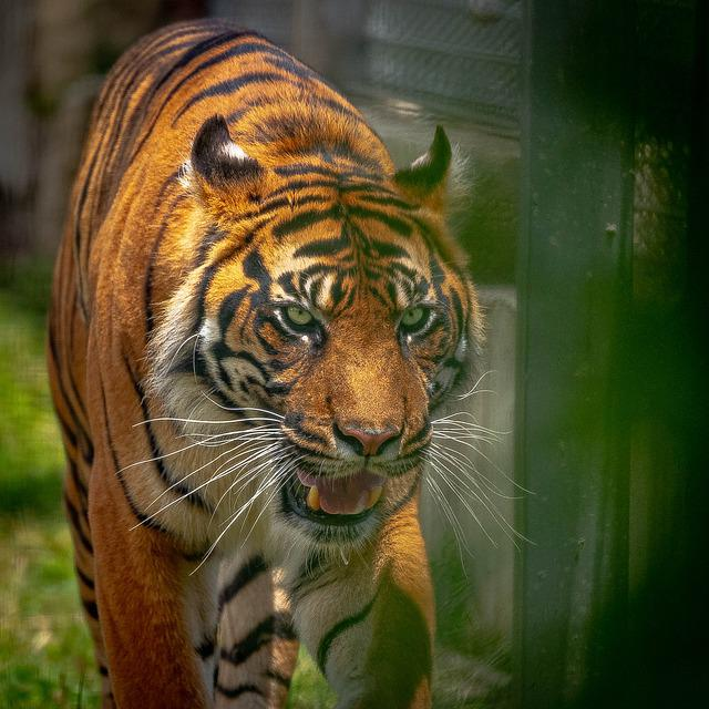 Tigre, Tiger, Animal, Animale, Zoo, Ambient, Naturaleza