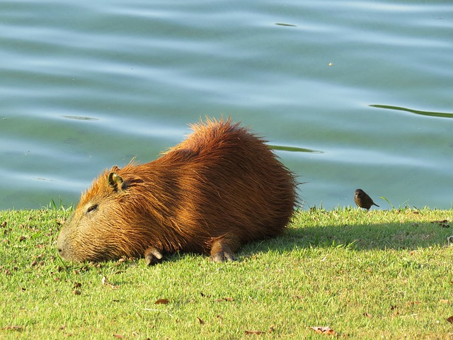 Capybara, Lake, Water, Animal, Wildlife, Wild, Zoology