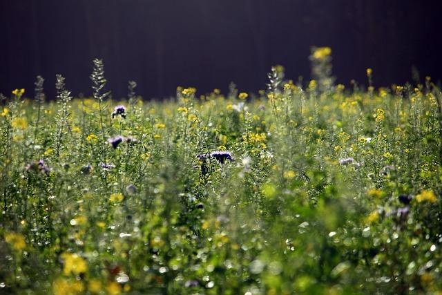 Flowers, Bees, Mustard, Field, Zwischensaat, Phacelia